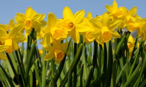 robert herrick s to daffodils Robert herrick (baptised 24 august 1591 – buried 15 october 1674 ) was a 17th-century english lyric poet and cleric  he is best known for hesperides , a book of poems.